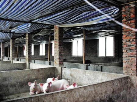 排查生猪286万多头,广东连州未发生非洲猪瘟疫情