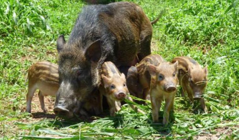 发生非洲猪瘟时,美国、欧盟、巴西生猪禁运吗?