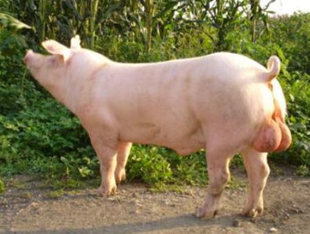 金华猪与杜洛克、长白猪、大白猪杂交的杂种优势预测