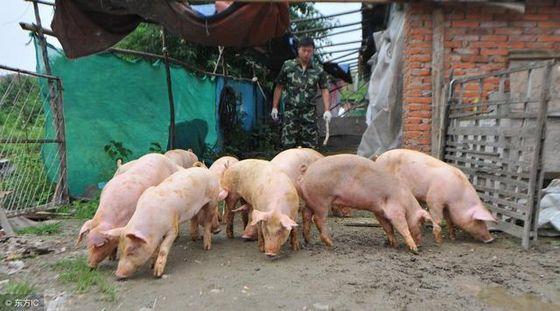 2019年01月16日全国各省生猪价格土杂猪价格报价表