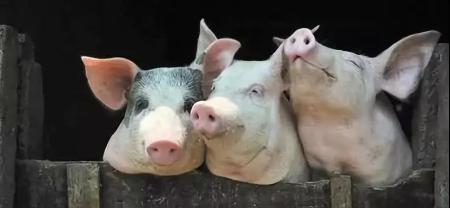 2019年01月18日全国各省生猪价格内三元价格报价表