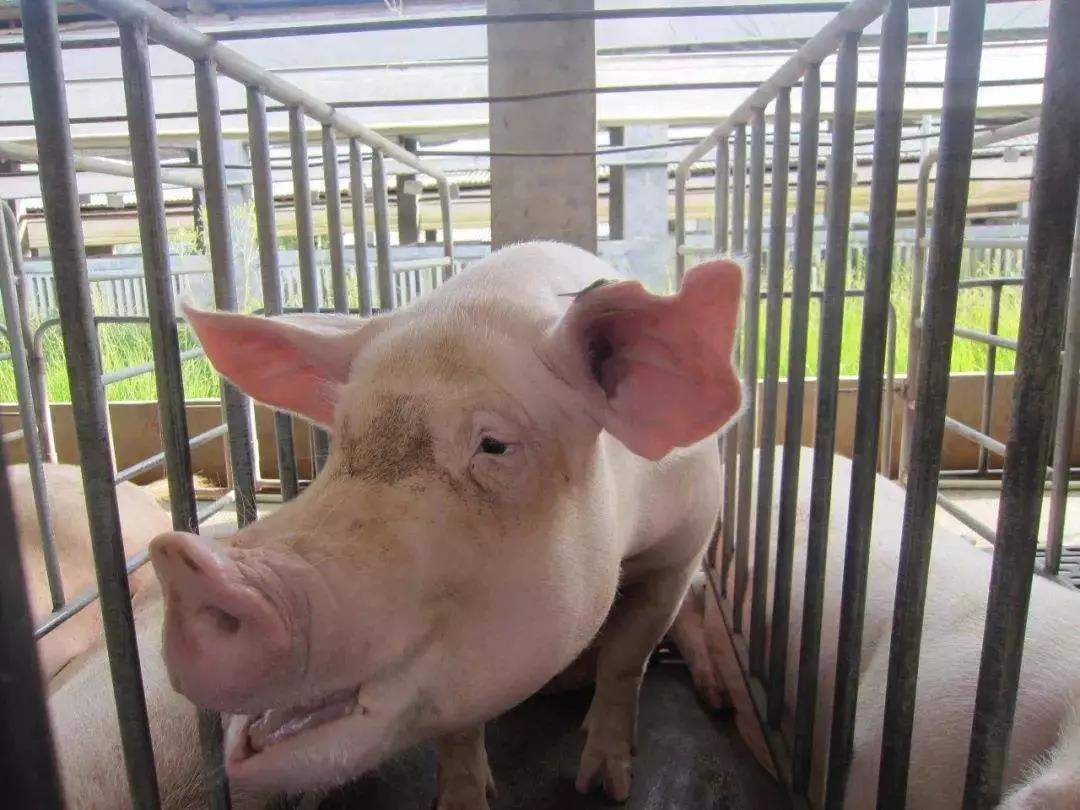 母猪产后掉膘严重,恢复体膘要有技巧