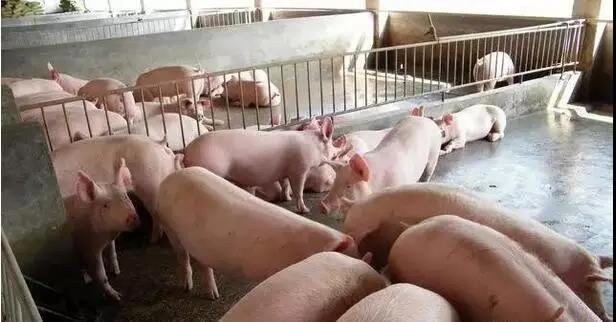 猪群稳定时,猪突然猝死,竟然是因为... ...