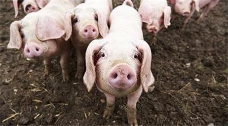 2019年1月26日(15至19公斤)仔猪价格行情走势