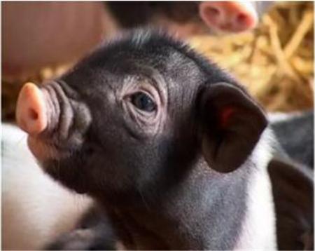 2019年1月31日(19至30公斤)仔猪价格行情走势