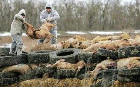 农业农村部:对非洲猪瘟疫点内生猪全部进行扑杀