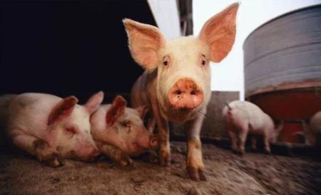 2019年2月6日(15至19公斤)仔猪价格行情走势