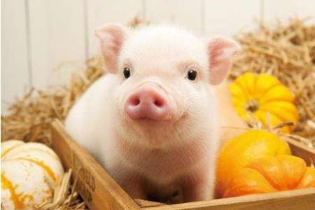 宠物猪品种你知道多少?