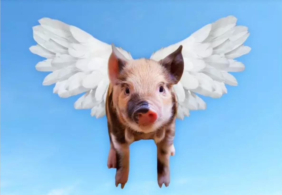 """单车共享,猪也可以共享?""""共享年猪""""不受猪价影响,你怎么看?"""