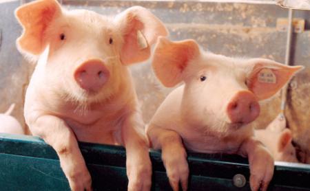 2019年2月12日(15至19公斤)仔猪价格行情走势