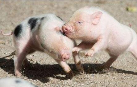2019年2月13日(19至30公斤)仔猪价格行情走势