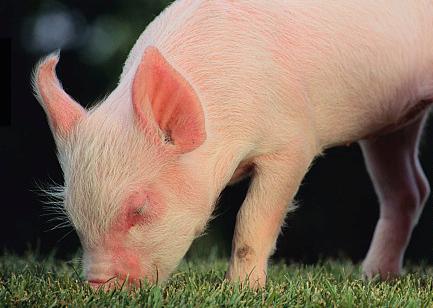 2019年2月14日(19至30公斤)仔猪价格行情走势