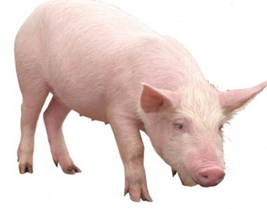 关于中国养猪业发展趋势的6个大胆判断