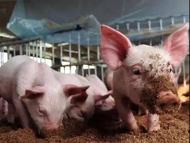 通过猪呼吸发出的信号、来判断疾病!