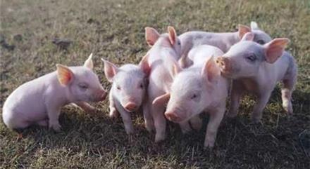 2019年2月18日(10至14公斤)仔猪价格行情走势