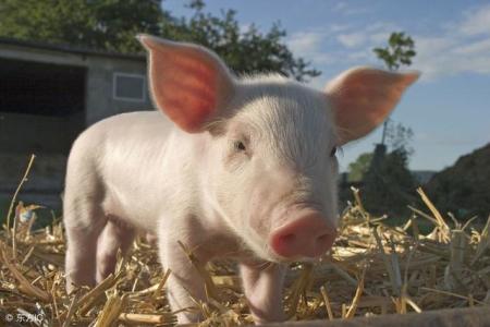 2019年2月18日(15至19公斤)仔猪价格行情走势