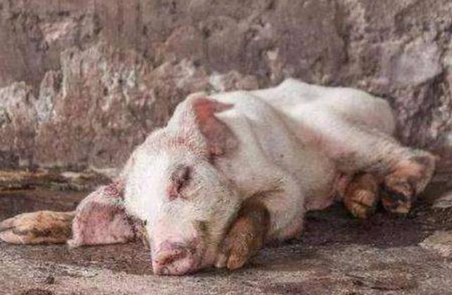 """病在""""猪身""""痛在""""农心"""":非洲猪瘟实质影响渐显"""