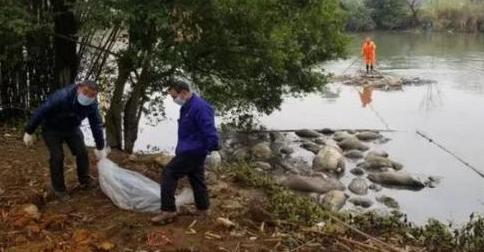 惊!广西柳州一河段漂浮近50头恶臭死猪,来源尚未查清