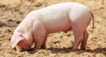 一例猪伪狂犬、大肠杆菌和链球菌混感的诊治