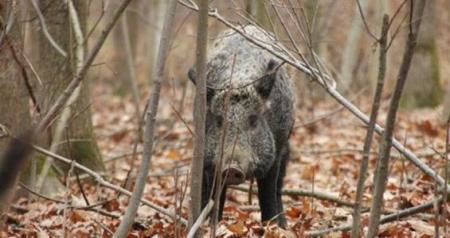 从怀疑到确诊,山东省在非洲猪瘟重压下,到底经历了哪些波折?