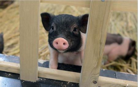 养猪大省河北非洲猪瘟疫情成谜?猪友:没猪当然没疫情!