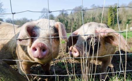 2019年02月24日全国各省生猪价格土杂猪价格报价表
