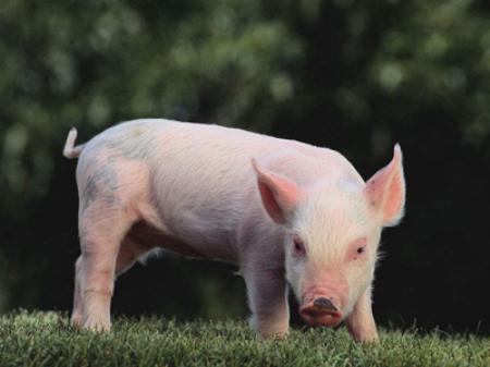 2019年2月25日(10至14公斤)仔猪价格行情走势