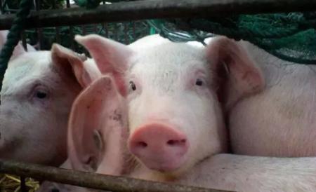 2019年2月25日(15至19公斤)仔猪价格行情走势