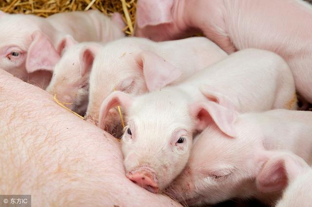 猪场分娩舍饲养管理要点