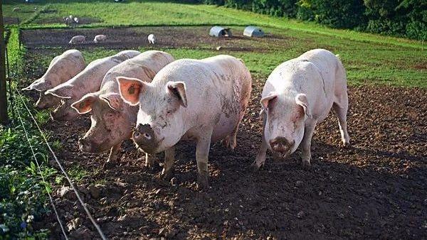 2019年02月26日全国各省生猪价格内三元价格报价表