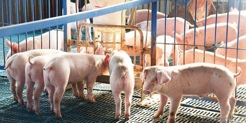 2019年2月26日(10至14公斤)仔猪价格行情走势