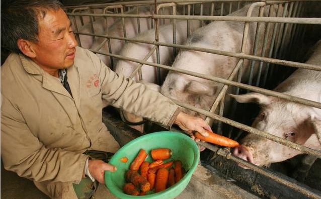 非瘟常态化后,这个猪又该怎么养?(上)