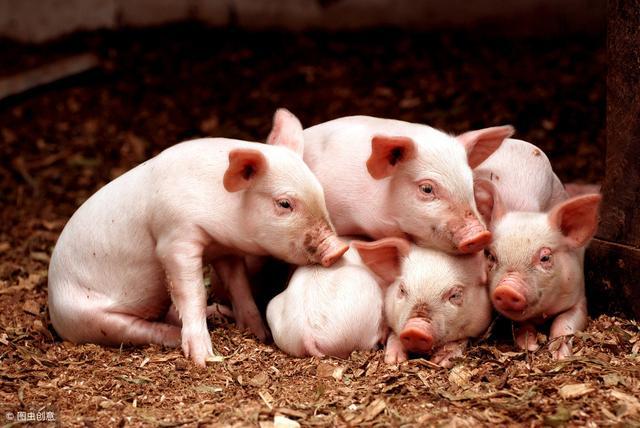 养好哺乳仔猪需要搞定的8个细节问题