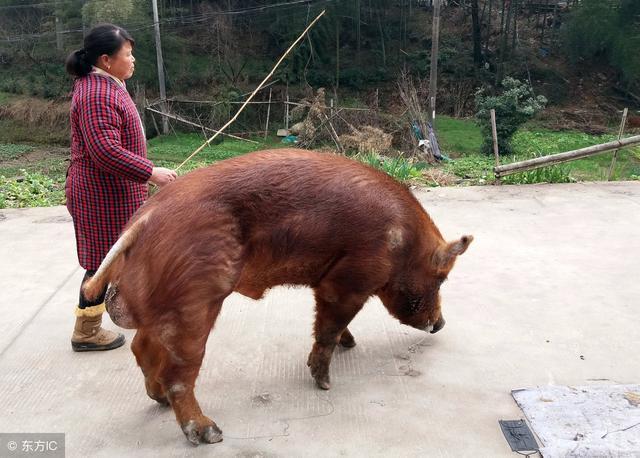 皮红毛亮的猪真的是好猪吗?科学的挑选种猪的方法你要牢记