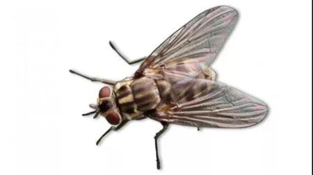 警惕!苍蝇可传播非洲猪瘟病毒