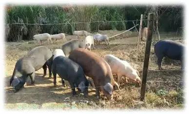 非瘟猪场如何实施拔牙式清除?
