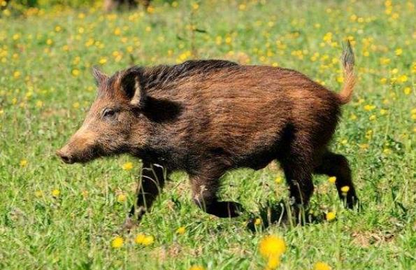 日本将首次对野猪使用疫苗 以遏止猪瘟疫情扩散