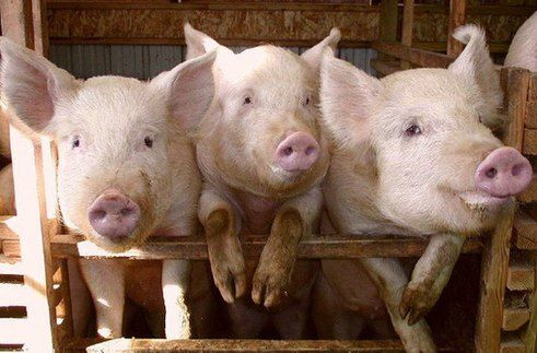 福建宁德关闭拆除生猪养殖场715家 消减生猪20.2万头