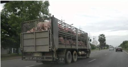猪场做好这十点,可以降低非洲猪瘟发病风险