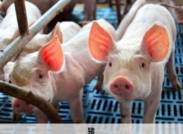 猪场呼吸道疾病频发,容易忽略的原因,有哪些?