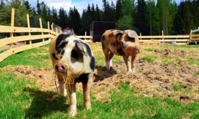 """建议政府对受""""非洲猪瘟""""影响的中小散户一定帮助"""
