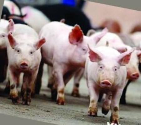 猪肉股集体冲高,猪价上涨,养猪人要苦尽甘来了!