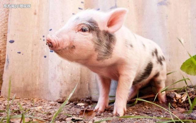 2019年3月8日(15至19公斤)仔猪价格行情走势