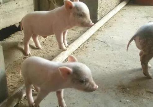 断奶小猪不吃料,光拱其他猪肚子,竟然是这个原因!