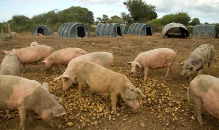 论液态饲喂在当前养殖大环境中的可利用性