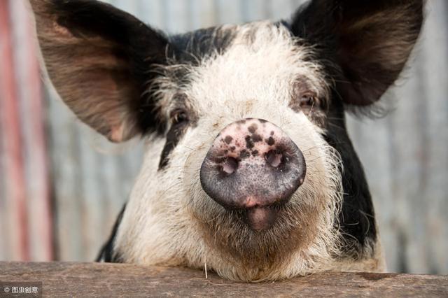 3月11日评:生猪市场供应紧缺已成不争的事实