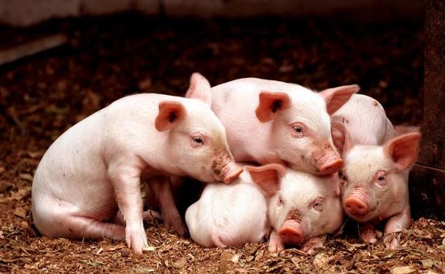 详解保育猪饲养存在的问题及管理技术!