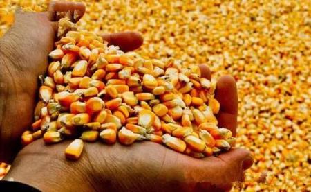 春播玉米种植,这几点种植户要知道!