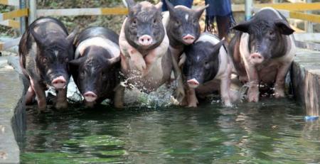 猪圈分类!农户养猪时别忘记这个细节,为你养猪之路添上一笔!