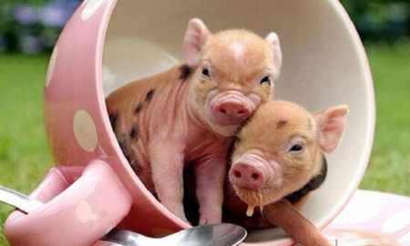 有些仔猪出生后全身发软,甚至呼吸停止,但心脏仍在跳动,如何抢救假死猪?